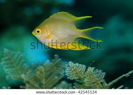 colorful golden damselfish swimming in front of coral