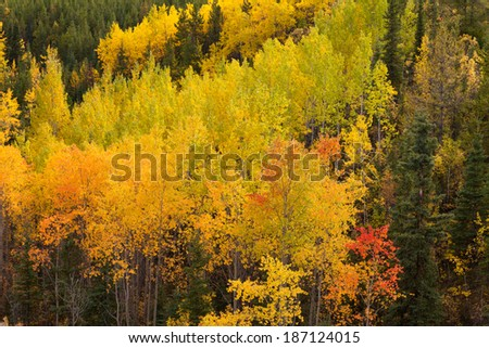 Colorful golden yellow autumn fall aspen trees, Populus tremuloides, of boreal forest taiga in the Yukon Territory, Canada - stock photo
