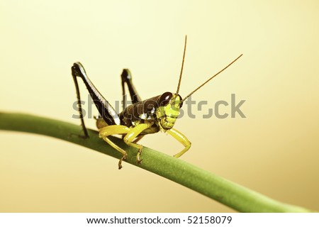 colorful grasshopper of bolivian rain forest ready to jump amazon tropical jungle species with bright colors yellow green background with copy space