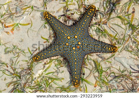 Colorful green and yellow starfish on wet sand, Zanzibar island - stock photo