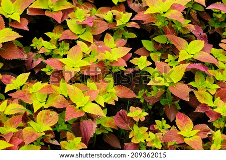 Colorful green, red, and yellow leaves on a summer plant in a garden.