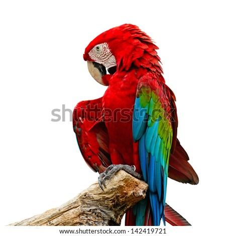 Colorful Greenwinged Macaw aviary, isolated on a white background