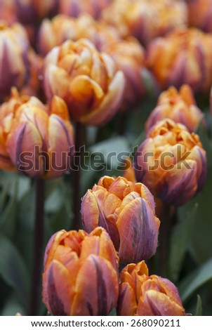 Colorful group of blooming spring tulips
