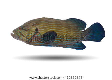 Colorful grouper fish /cod fish isolated on white background/stripped rock cod - stock photo