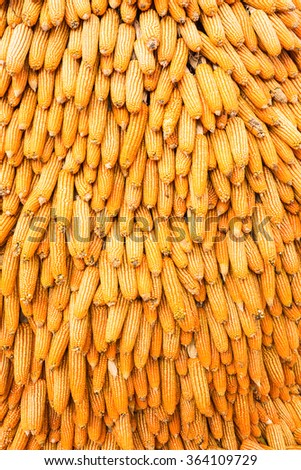 Colorful hanging dried yellow corn background