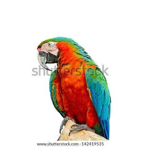 Colorful Harlequin Macaw aviary, breast profile, isolated on a white background
