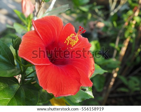 colorful hibiscus red flower close up .chaba flower or china rose