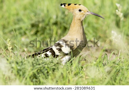 Colorful Hoopoe, Eurasian Hoopoe (Upupa epops) in natural habitat - stock photo