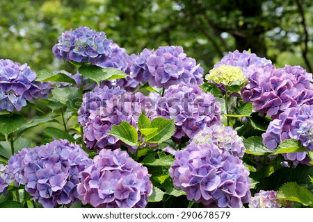 colorful hydrangea flowers growing in the garden