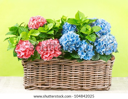 colorful hydrangea in basket on green background. beautiful pink and blue hortensia plants - stock photo