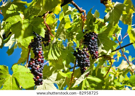 Colorful image of vine growing with sky in the background - stock photo