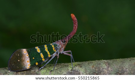 Colorful insect, Cicada or Lanternfly ( Pyrops karenia ) insect on tree in nature