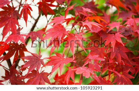 Colorful Japanese maple leaves at fall