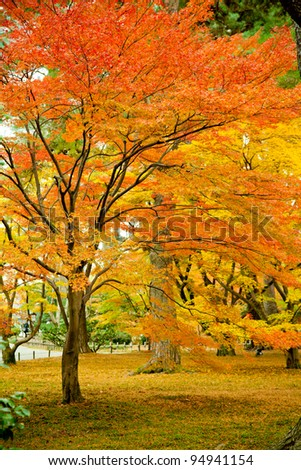 Colorful Japanese maple tree - stock photo