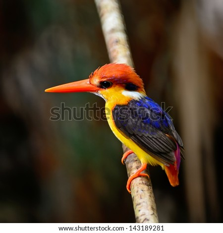 Colorful Kingfisher bird, Black-backed Kingfisher (Ceyx erithacus), side profile
