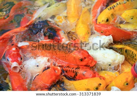 colorful Koi carp fish