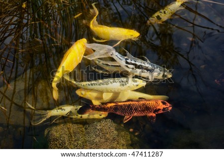 Colorful Koi Fish in Japanese Garden, swimming in clear water.