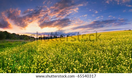 colorful landscape of blossom rapeseed on sundown