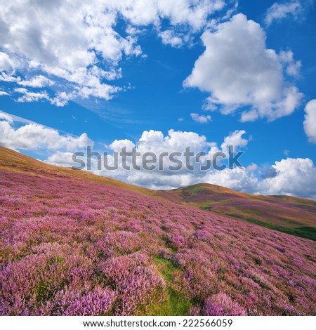 Colorful landscape of hill slope covered by purple heather flowers. Pentland hills, Scotland - stock photo