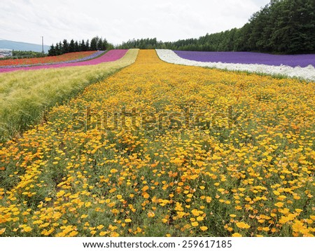 Colorful Lavender field at Tomita farm, Furano, Japan, It is the famous and beautiful flower fields in Hokkaido - stock photo