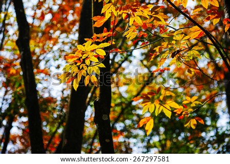 colorful leaf in Natural park. Dramatic morning scene. Red autumn leaves. Vietnam, Europe. Beauty world. - stock photo