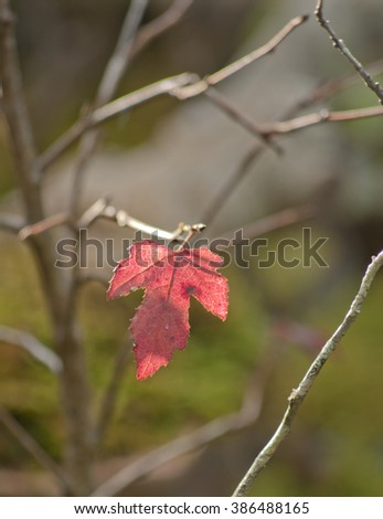 Colorful leaf maple - stock photo