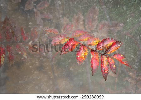 Colorful leaf of rowan tree in autumn - stock photo