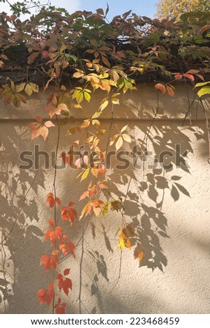 Colorful Leaves Against a Wall on a Sunny Autumn Day - stock photo