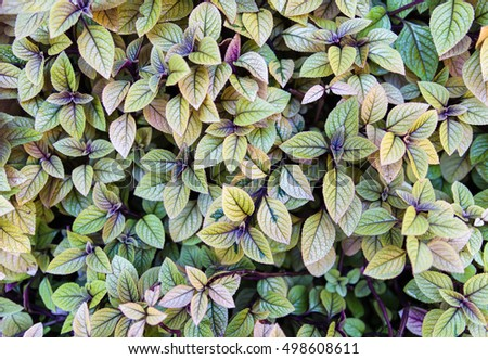 colorful leaves bush,the color and textured of nature in natural color for background or copy space for text fill with natural multicolor green,yellow,purple with selective focus