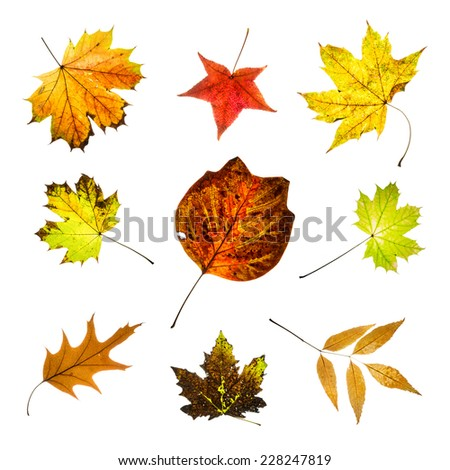 Colorful leaves isolated on white background. Autumn collage. Seasonal theme. - stock photo