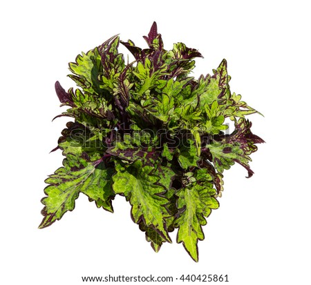 Colorful leaves of Painted nettle or plectranthus scutellarioides on white background a popular indoor plant. - stock photo