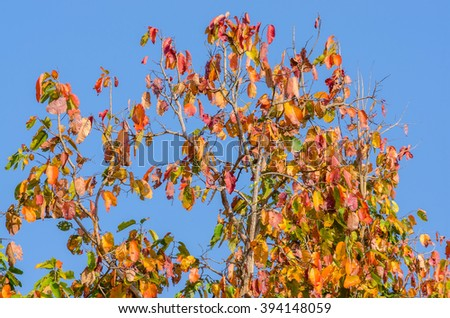 Colorful leaves of tropical forest, Nan ThaiLand.