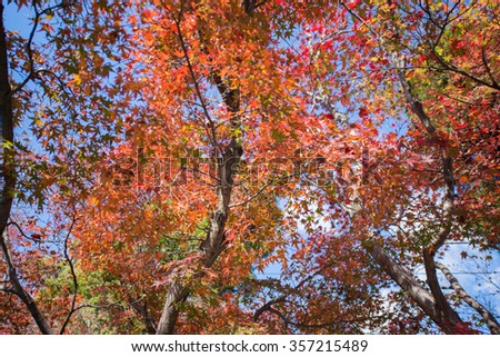 Colorful leaves on maple tree in garden in autumn season
