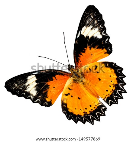 Colorful Leopard Lacewing butterfly upper wings profile isolated on white background - stock photo