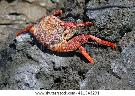 Colorful live king crab on volcanic rocks along the ocean. Crab is also called Brachyura.
