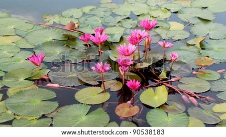 colorful lotus flower on the lake