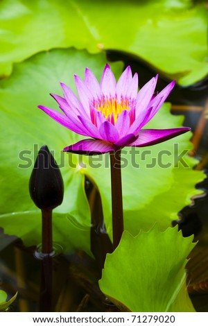 Colorful lotus flower with green reaf. - stock photo