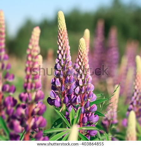 Colorful lupins on the meadow in summer - stock photo
