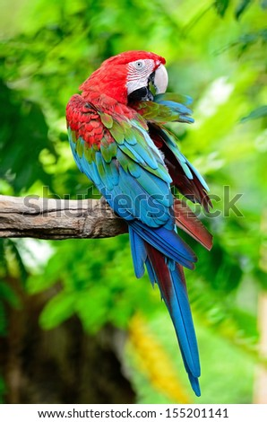 Colorful Macaw, Greenwinged Macaw aviary, standing on the log