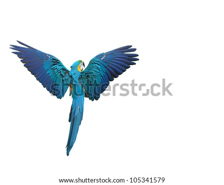 Colorful macaw parrot flying with wings spread isolated on white - stock photo