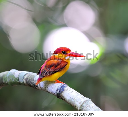 Colorful male of Rufous-backed Kingfisher (Ceyx rufidorsa) is a species of bird in the Alcedinidae family. It is found in Thailand