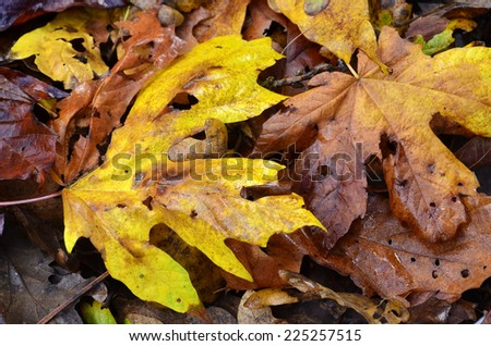 Colorful maple and oak leaves on the ground wet and glistening after a light shower are a sign of Autumn