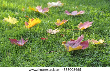 colorful maple autumn leaves on green grass - stock photo