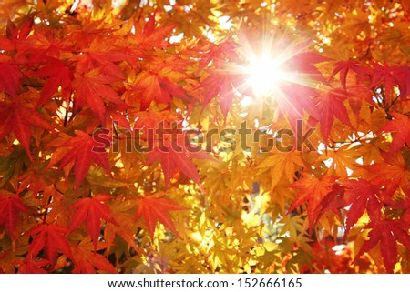 Colorful maple autumn leaves with sun beam. - stock photo