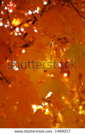 Colorful maple leafs at the autumn sunset - stock photo