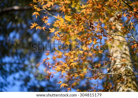 Colorful maple leafs backlit against the color of Autumn forest background - stock photo