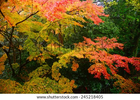 colorful maple leaves and branches from kyoto, japan - stock photo