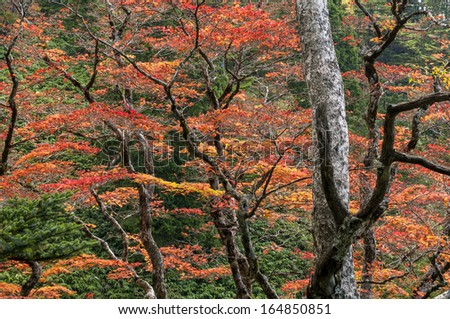 Colorful maple leaves in Japan during autumn. - stock photo