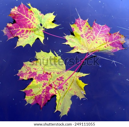 colorful maple leaves in water - stock photo