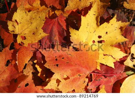 Colorful maple leaves lying on the ground - stock photo